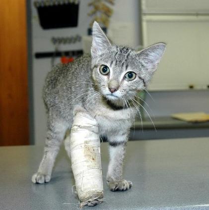 Photo of درمان شکستگی دست گربه | درمان دررفتگی دست و پای گربه