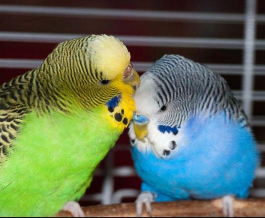 Photo of نحوه تشخیص مرغ عشق نر از ماده