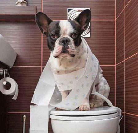 Photo of آموزش دستشویی کردن به سگ | آموزش ادرار به سگ