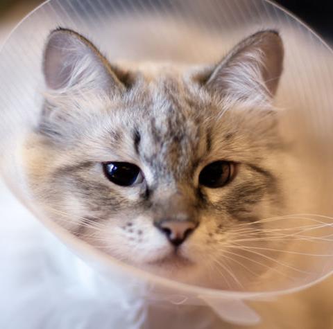 Photo of عقیم سازی گربه در شیراز | جراحی عقیم سازی گربه ماده در شیراز | هزینه عقیم سازی گربه نر و ماده شیراز